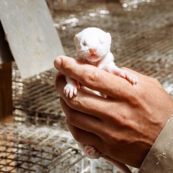 Lietuvos žvėrelių augintojų asociacija kreipėsi į generalinę prokuratūrą dėl gyvūnų gynėjų veiksmų